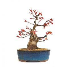 Acheter ce très beau Bonsaï Acer Palmatum Seigen Shohin de 24 cm 140302 importé du Japon chez votre Spécialiste du Bonsai en Ligne, Sankaly Bonsaï