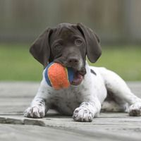 German shorthaired pointer puppy and his ball