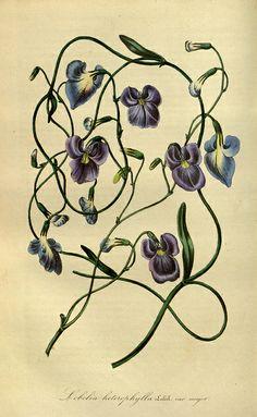Flore des serres et des jardins de l'Europe. A Gand :chez Louis van Houtte, eÌditeur,1845-1880.