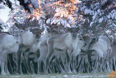 Reindeer herd, Posio Finland.