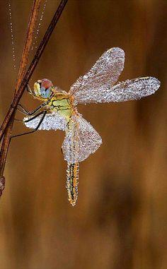 Libellula con le ali coperte di rugiada