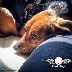 Hunter was quiet in flight but insisted in keeping his head against Pam's leg. He was so loving and caring. It's hard to believe his owner never claimed him from the shelter. Thankfully we flew him to his new home in Pennsylvania. http://pilot.dog  #aviation #pilotnpaws #instaaviation #instagramaviation #dog #dogrescue #pilotdog #pet #pilot #instagrampilot #instapilot #instadog #foreverhome #rescuedog #dogs