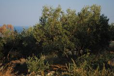 Old olive tree in Strongoli, Calabria  (notice the corner of sea behind tree, blue as sky)