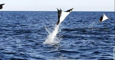 Jumping For Joy, Discovery, Whale, Stingrays, Animals, Joy, Vaulting, Whales, Animales