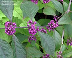 Beautyberry -- Not sure it'll grow in zone 5. :-(