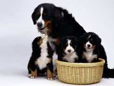 original wallpaper download: Family Bernese Mountain dog on a white background - 1600x1200