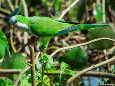 Monk Parakeet (Myiopsitta monachus) by Nick_Athanas