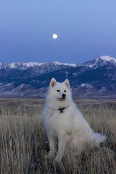 Samoyed in the moonlight... WOW