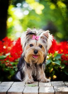 Health problems in Yorkshire Terrier.Click the picture to read #yorkshireterrier