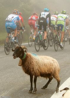 Tour de France 2010 Stage-17 (goat better behaved than many of the spectators on the mountain stages :).