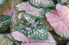 Close Up Photo Of Pink And Green Caladium Plants Color Palette. Indoor Orchid Care, Types Of Grass, Pink Leaves, Colour Pallete, Foliage Plants, Close Up Photos, Zinnias, Rose Buds, Garden Projects