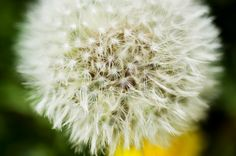 写真少年漂流記: タンポポの花が咲いて日差しは黄色 タンポポの綿毛(京都市左京区下鴨半木町)