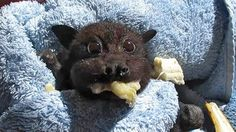 CUTEST BAT STUFFING FACE WITH BANANA