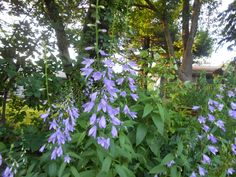 Sproutsandstuff: What's blooming in June-Adenophora lilifolia-Ladybells  http://sproutsandstuff.blogspot.co.uk/p/blog-page_2240.html