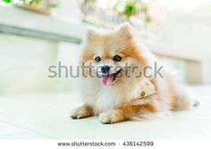 Explore 379 high-quality, royalty-free stock images and photos by pattarawat available for purchase at Shutterstock. Pomeranian, Royalty Free Images, Fox, Smile, Stock Photos, Orange, Cats, Animals, Gatos