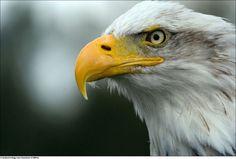 Eagle/Águia