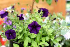 Deep purple surfinia - so beautiful in summer containers! Colorful Garden, Deep Purple, Garden Furniture, Cork, Centre, Seasons, Colour, Interior, Plants