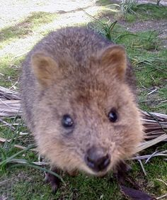 Baby quokka! I wonder where they got their names from...