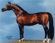 *Bask ++  (Witraz x Balalajka)  1956 Bay Stallion In 1963 *Bask ++ was imported from Poland to the United States from Janów Podlaski's stud by Dr. LaCroix. The following year he was named US National Champion Halter stallion and the 1965 US National Park horse Champion, one of only four Arabian stallions to ever win national championships in both halter and performance. Siring 1,050 registered foals, *Bask can be found in many Arabian pedigrees today.