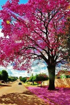 Ipê rosa ou ipê roxo (Tabebuia impetiginosus), um exemplar belíssimo, em floração, em Cuiabá, Mato Grosso, Brasil. Fotografia: Ângela Vacari.