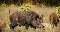 Make your own hog bait with simple ingredients and an easy trick to keep them at the bait site long enough for you to get a shot. Have some pork tonight! Pig Hunting, Hunting Tips, Hunting Stuff, Predator Hunting, Hog Trap, The Bait, Bowfishing, Wild Boar, Fishing Tips