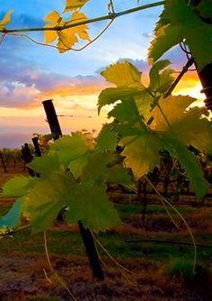 Wine tastings at Tedeschi Vineyards
