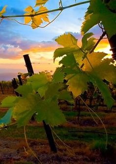 "Tedeschi Vineyards, Napa Valley www.LiquorList.com ""The Marketplace for Adults with Taste!"" @LiquorListcom   #LiquorList"