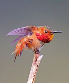 Most Beautiful Hummingbird