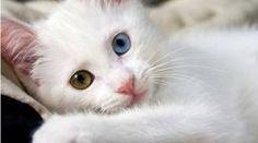 8 razas de gatos que tal vez no sabías que existen
