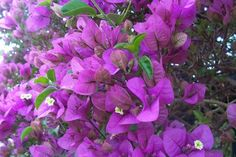 A photo gallery of colourful bougainvilleas. An evergreen woody semi-vines with thorns, with masses of papery, petal-like bracts which surround tiny, tubular white flowers.