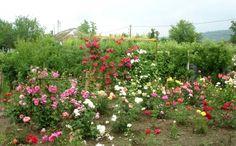 Grădină tânără de trandafiri Diy And Crafts, Noiembrie, Martie, Paradis, Roses, Clever, Gardening, Ideas, Green
