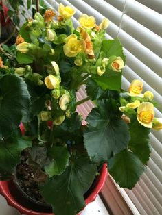 Rieger Begonia - http://www.gardenanswers.com/annuals/rieger-begonia/