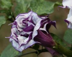 Datura metel is a shrub-like perennial herb, commonly known as devil's trumpet