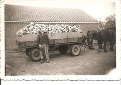 Een wagen volgeladen met rode kool 1954.