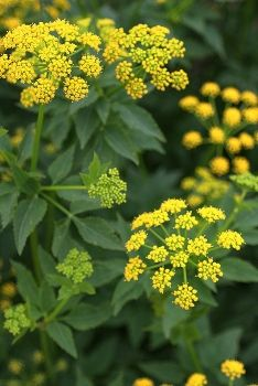 Zizia aurea - Zizia doré - Golden Alexanders.  Rain garden. Nice w grass, 2-3'.  Cut back after flowering