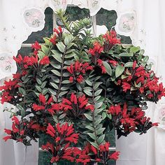 How to grow a lipstick plant care guide. Learn how much light, water, and fertilizer a lipstick plant requires. learn answers to lipstick plant care questions. Flowering House Plants, Flowering Trees, Exotic Plants, Tropical Plants, Hanging Plants, Indoor Plants, Hanging Baskets, Indoor Flowers, Deer Resistant Perennials
