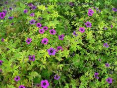 Geranium 'Anne Folkard'.  Gioid hardly germanium.  Perennial with lime green leaves and magenta pink flowers. Good in any bed.