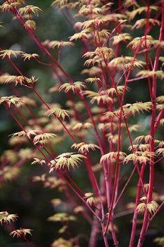 New leaves of Acer palmatum ' Eddisbury' | Flickr - Photo Sharing!