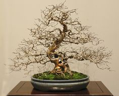 Honysuckle bonsai from part 1 of the 90th Kokufu Bonsai Exhibition in Japan…
