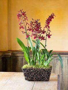 Colmanara Massai Orchidee rote Farbe Zimmerpflanzen Pflege Tipps