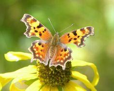 Fondo de pantalla de Mariposa anaranjada
