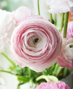 Blush ranunculus for bouquets.