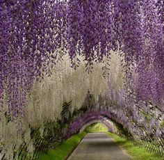 A magical garden straight out of a fairy tale! This garden path comes from the Kawachi Fuji Gardens in Japan.