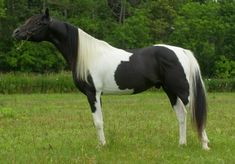 Pintabian stallion BL Alistar -   MP Alis Dandi x SH Porcelin Doll