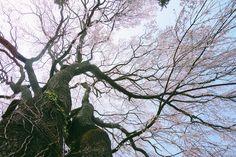 大方寺のしだれ桜 by u_ran2008, via Flickr