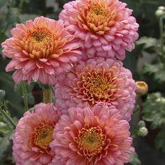 Chrysanthemum 'Pennine Sally'