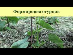 Выращивание огурцов, арбузов и дынь
