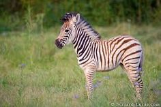 cute baby zebra - Google Search