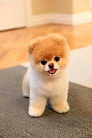 Pomeranian . Teddy bear cut