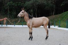 """""""Pioneiro"""" (domado). Data nascimento: 06/08/2010      Cortesía: HARAS RED HORSE,   Ibiúna/SP (Brasil)."""